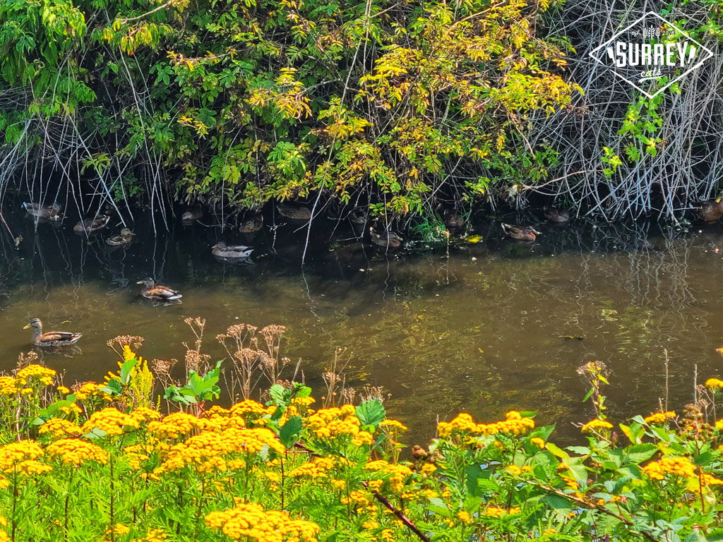 Ducks in a stream