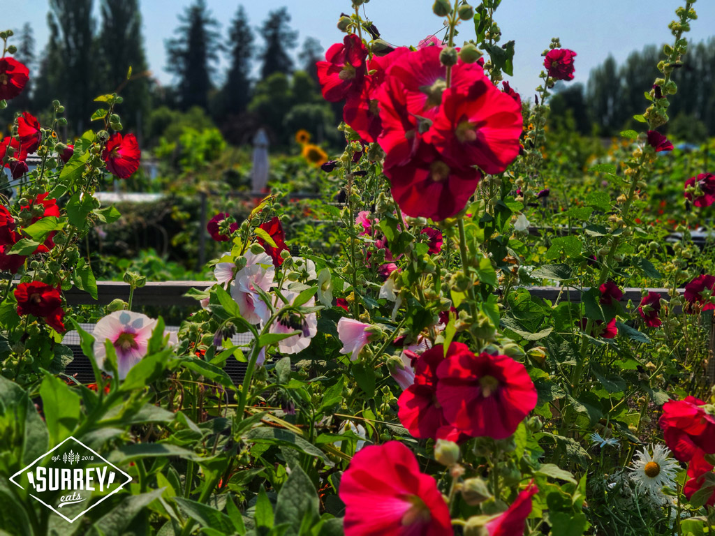Red flowers at Dunsmuir Community Garden