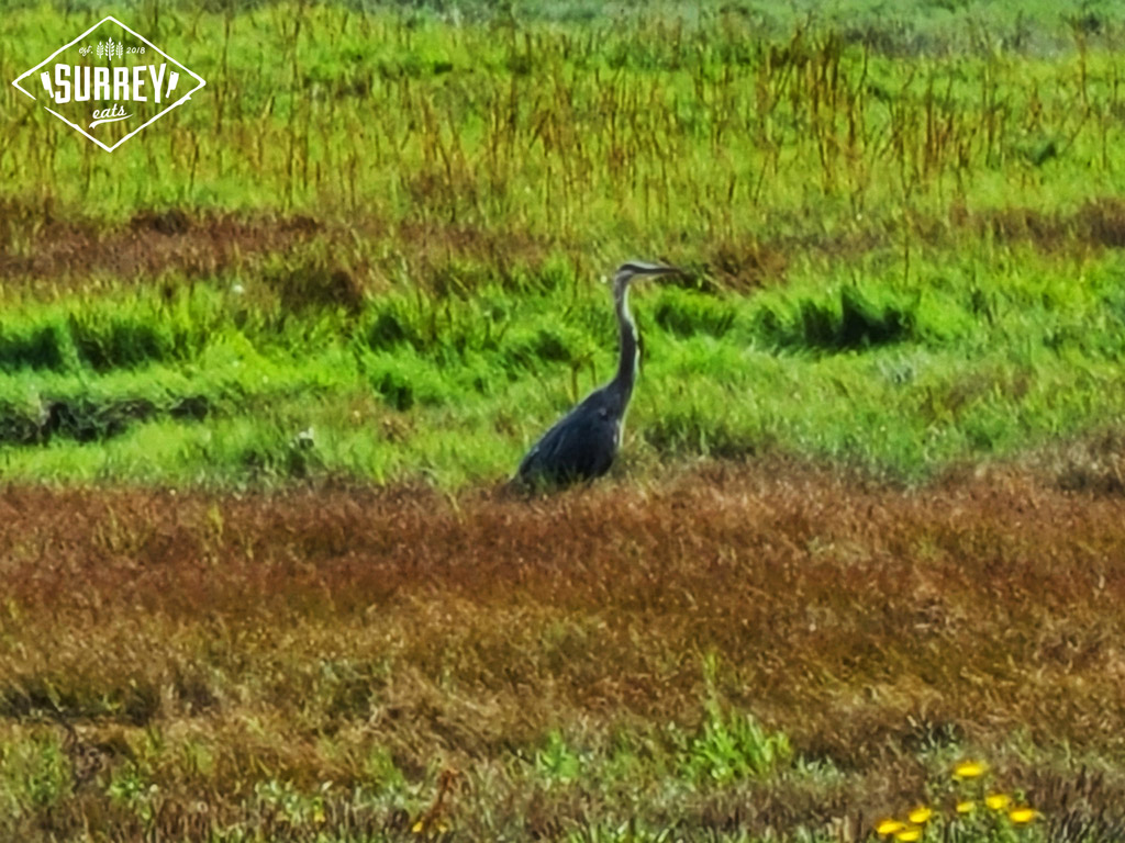 A heron standing in the marsh at Blackie Spit bird sanctuary