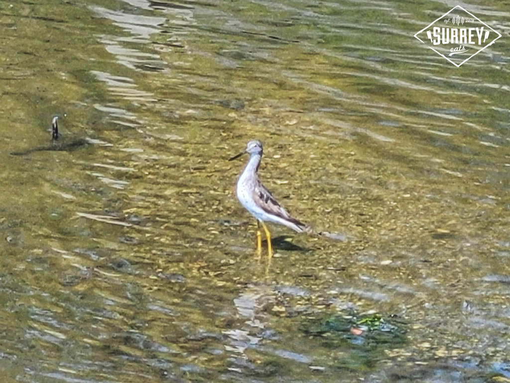 A sandpiper standing in shallow water