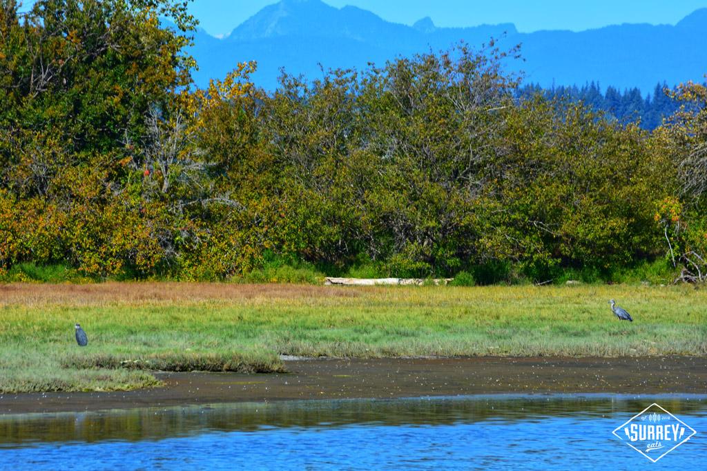 Two herons at Blackie Spit